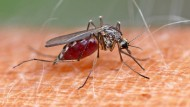 Einmal Volltanken: Stechmücke auf menschlicher Haut