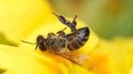 Insektengifte? Überdüngung? Tote Biene auf einer gelben Blüte