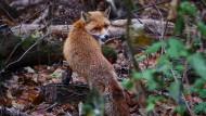Anpassungskünstler Fuchs: Der schönste und gerissenste Wilde