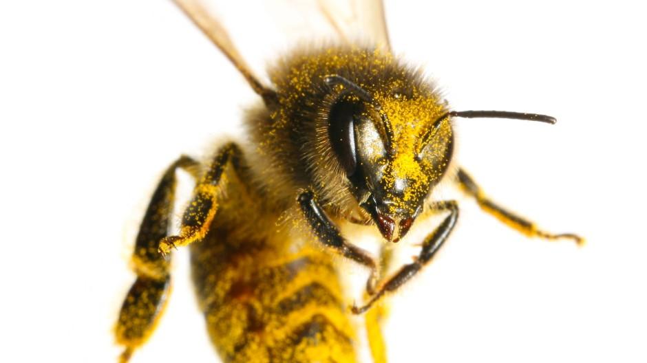 Ihre Lebensweise unterscheidet sich so fundamental von der menschlichen, dass die Biene von alters her auch die Denker fasziniert.
