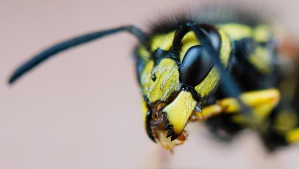 Was das Tolle an Wespen ist