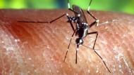 Hierzulande zum Glück selten: Die Asiatische Tigermücke kann Zika-Viren übertragen.