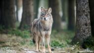 Wolf in einem Gehege im Biotopwildpark Anholter Schweiz