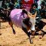 Stierkämpfer beim traditionellen Stierkampf Jallikattu im indischen Palamedu