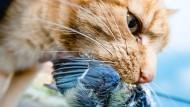 Manche Katzen sind zu faul zum Jagen, andere wahre Tötungsmaschinen.