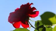 Rose in einem Garten in Kaufbeuren