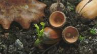 Wer pflanzt, ist doof: Die Eichen übernehmen das, wenn man sie lässt.