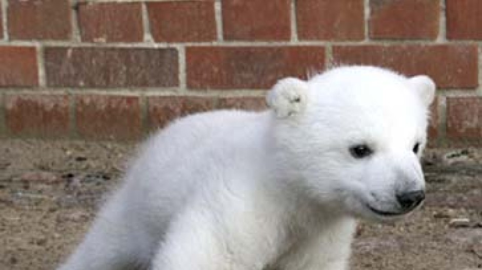 Angst Um Knut Der Eisbär Und Die Giftspritze Medien Faz