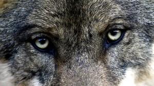 Der Wolf, das magische Wesen