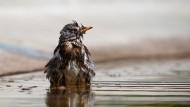 Letzte Rettung kühles Nass: Auch Vögel müssen sich vor Überhitzung schützen – und gehen baden.