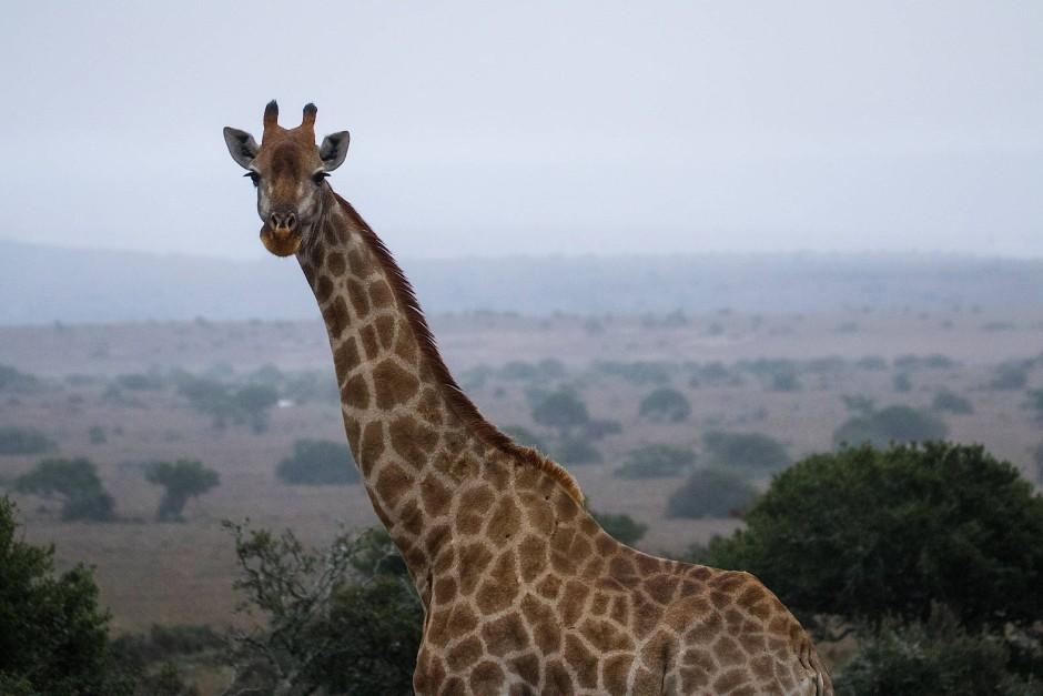 Giraffen werden selten von Löwen gejagt, weil sich selbst der König der Savanne vor einem Tritt mit dem platztellergroßen Huf fürchtet.