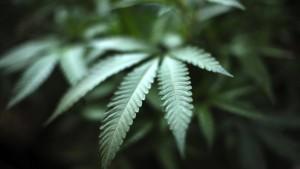 Der deutsche Cannabis-Markt blüht