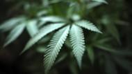 Heißt begehrt: Immer mehr Patienten vertrauen auf die heilsame Wirkung von Cannabis.