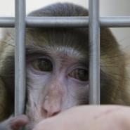 Nur 0,05 Prozent aller Versuchstiere sind Affen: Makake im Forschungskontext
