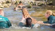 Giraffenbaby Nakuru stürzt in Wassergraben