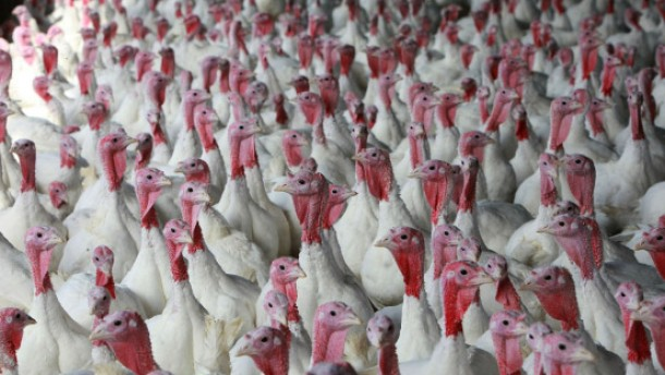 California Turkey Farm Raises Mainstay Of Thanksgiving Dinner