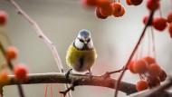 Blaumeisen gehören zu den häufigsten Gartenvögeln.