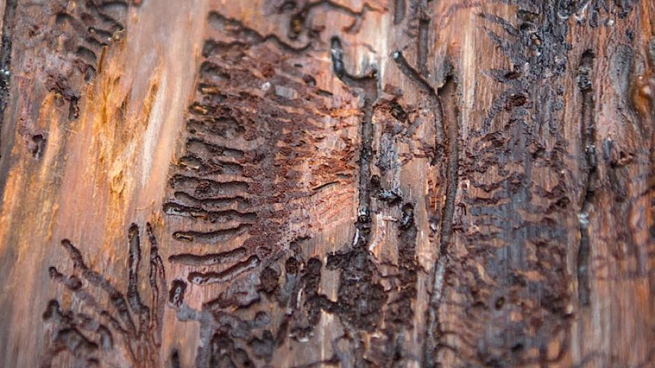 Mit ihren Fressgängen unterbrechen die Larven eines kleinen Käfers die Saftströme eines großen Baums: So zerstört der Borkenkäfer eine Fichte.