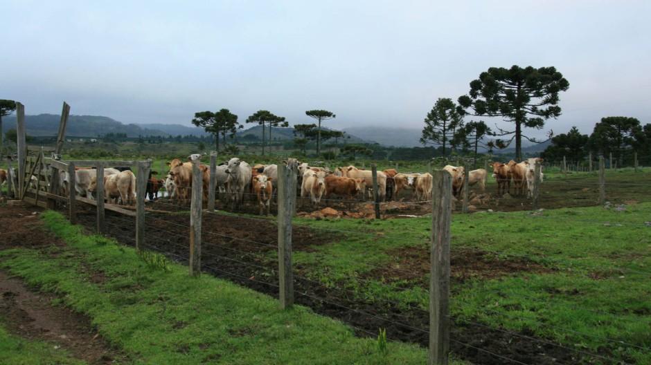 Renitenten Rindviechern kommt man mit dem Besenstiel bei – altes Gaúchowissen