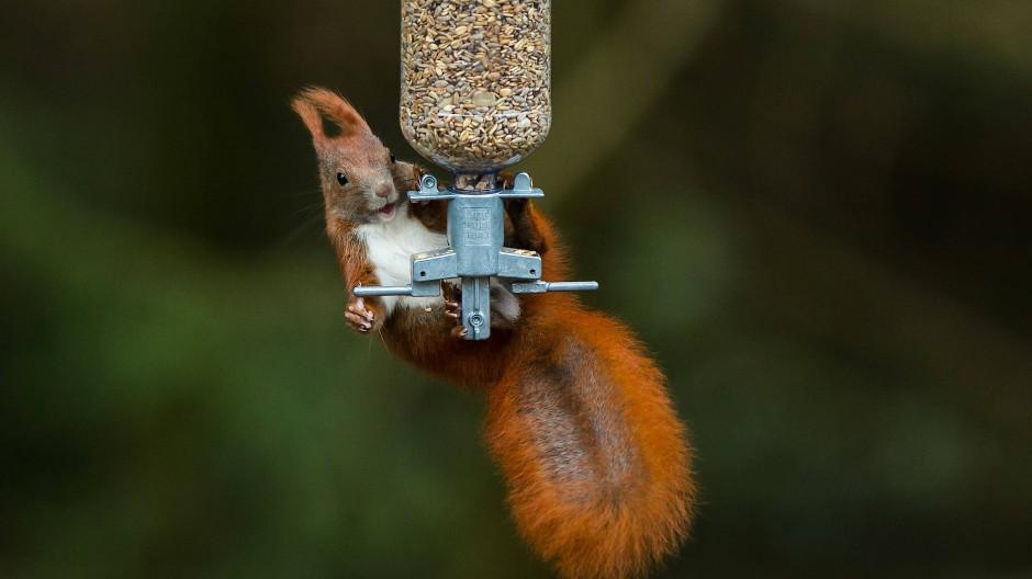 Weiß sich zu helfen: Eichhörnchen am Vogelfuttersilo