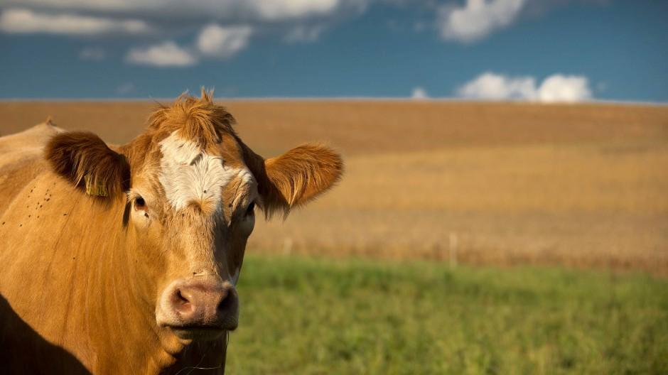 Das Mitglied einer ländlichen Lebens- und Wirtschaftsgemeinschaft, in diesem Fall im hessischen Wetteraukreis, auf der Weide.