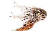 Kleine Eule, großer Charmefaktor: Der Sperlingskauz kommt auch in Deutschland vor und ist ungefähr so groß wie ein Star.