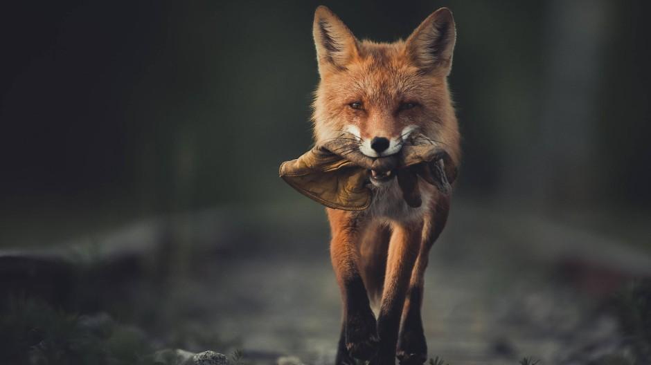 Bis zum Handschuh auf dem Speiseplan bringt es zwar selbst dieser Nahrungsgeneralist nicht, aber Sinn für Fundstücke hat er: Rotfuchs (Vulpes vulpes) im Yukon, Kanada
