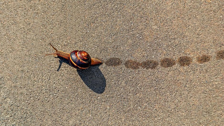 Die Gestreifte Weinbergschnecke schiebt sich im Raupenmodus voran, um Energie zu sparen – schneller wird sie so auf ihrer charakteristischen Schleimspur jedoch nicht.