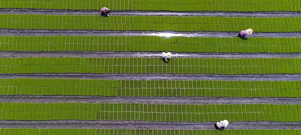 Diese Luftaufnahme zeigt chinesische Reisbauern bei der Feldarbeit: Reisbauern sollen eher kollektivistisch denken als Weizenbauern.