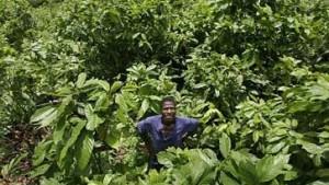 Kakao wird wegen Afrika-Wirren teurer