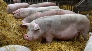 Noch keine Basis für eine Kryptowährung: Schweinestall in Niedersachsen