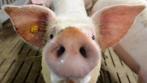Polizei findet mitten in der Stadt ein Schwein