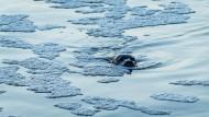 Seehund auf Erkundungstour in der Weser
