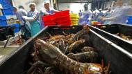 Amerikanisches Exportprodukt nach China: Krebse aus Maine für's Neujahrsfest