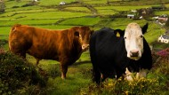 Eire is back am Kapitalmarkt: Den Kühen wird's egal sein
