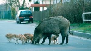Wildschwein trifft Auto