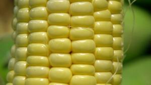 Syngenta reizvoller als Monsanto