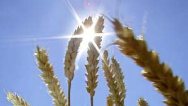 Getreidepreise schwanken heftig