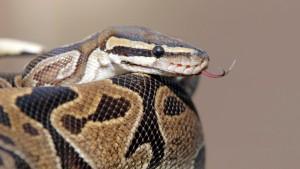 Schlange verschlingt Krokodil