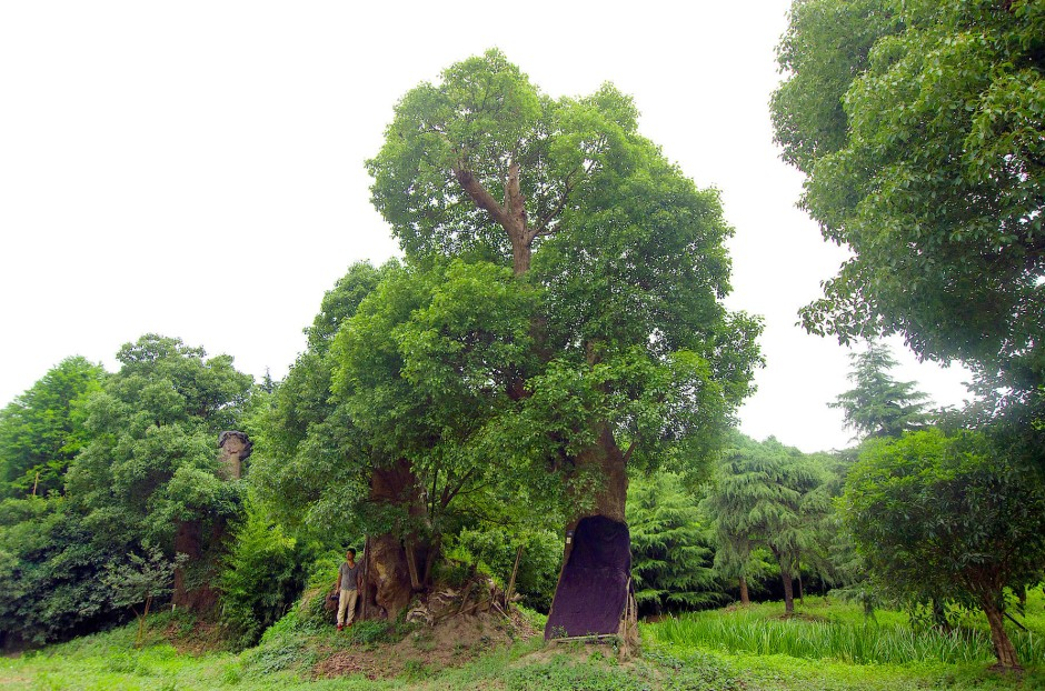 Tausende Kampferbäume wurden für das Projekt verpflanzt.