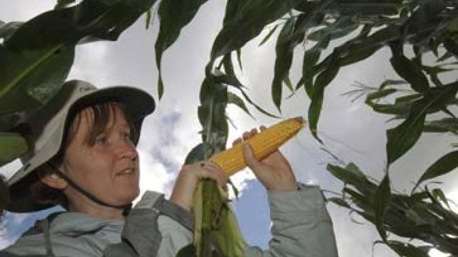 Mais könnte wieder teurer werden