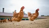 Hühner in Freilandhaltung scheuen die frische Luft