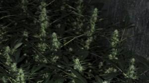 Mutter lässt Cannabis-Plantage ihres Sohnes auffliegen
