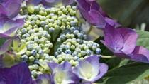 Erblüht wunderschön und vergeht zauberhaft: Am beliebtesten sind Hortensien in Blautönen.