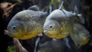 Fische sind nicht stumm