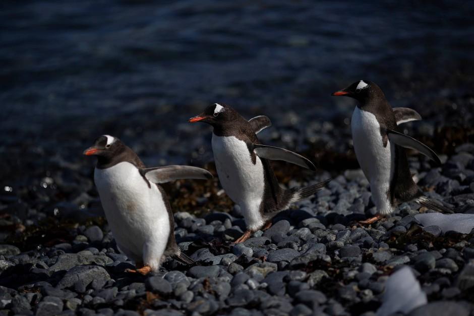 Gentoo Pinguine sind enge Verwandte und teilen sich das Siedlungsgebiet. Sie sind größer und schnellere Schwimmer.