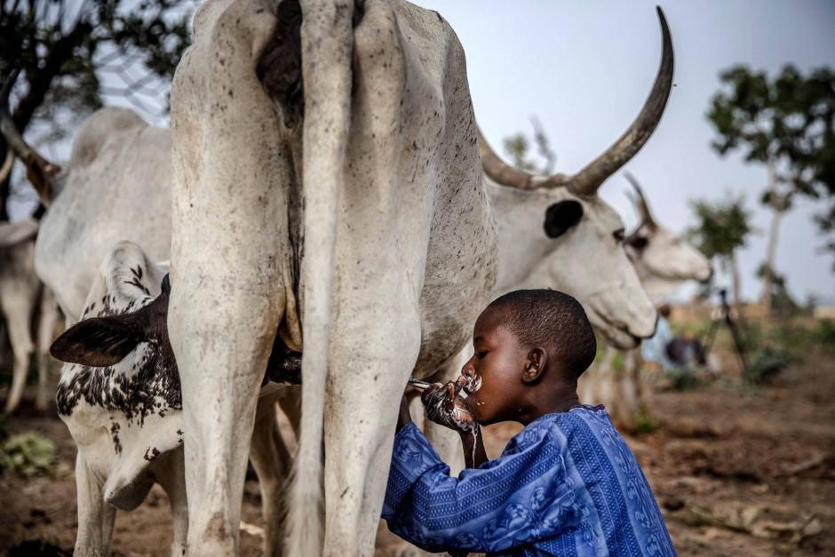 Ein achtjähriger Junge trinkt Milch von einer Kuh, die seinem Vater gehört.