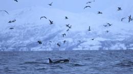 Auf der Suche nach den Orcas