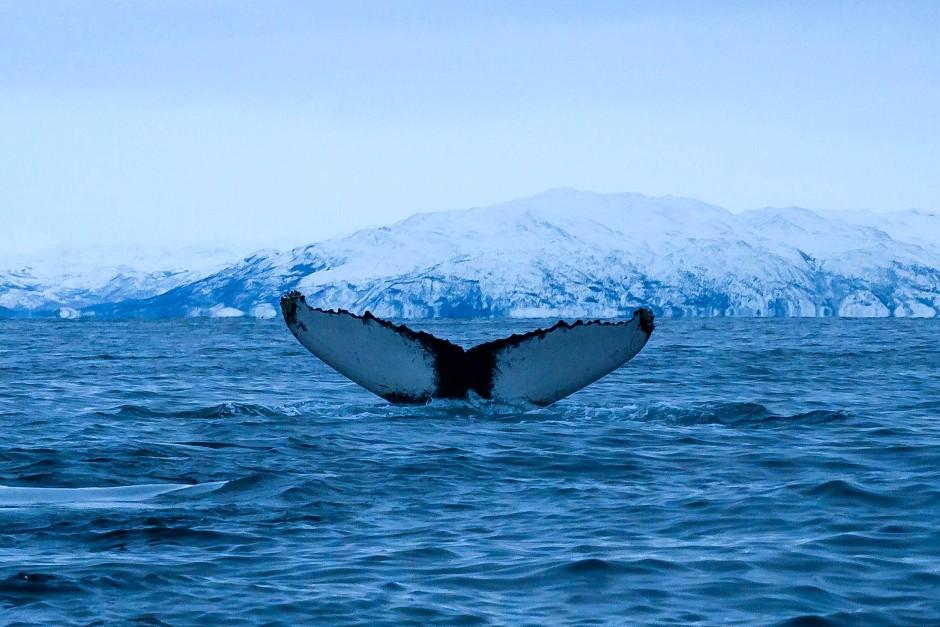 Majestätischer Anblick: Der Wal taucht ab.