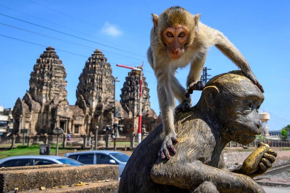 Ein Langschwanzmakake klettert auf eine Affenstatue vor dem buddhistischen Tempel Prang Sam Yod in Lopburi.